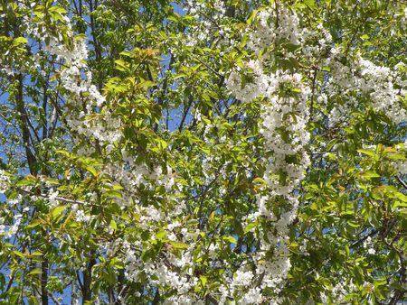 Sweet cherry blossoms glow in the sunlight. Vibrant green and white.