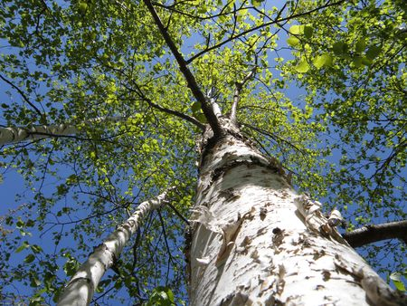 From the ground looking up at a White Birch tree. The leaves at the top of the tree glow bright green with the sun high in the sky. Stock Photo - 4872033