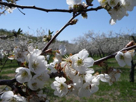 Vibrant white Sour Cherry blossoms in a sun filled orchard.