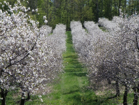 Rows of Sour Cherry trees. Blossoms are in full bloom.