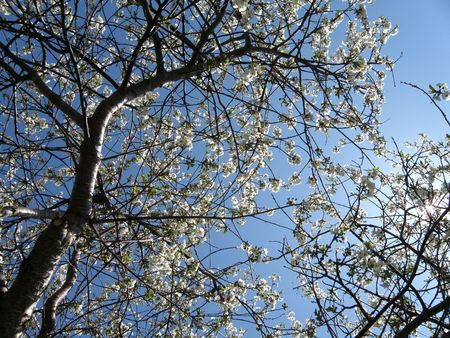 sours: Vibrant white Sour Cherry blossoms in a sun filled orchard. Image looking up into the sky through the branches of the tree.
