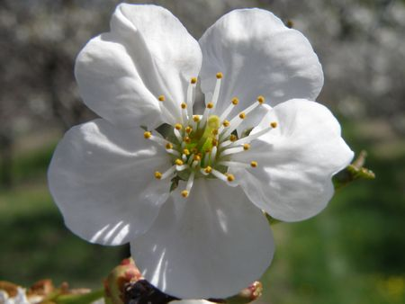 blossom honey: Vibrant white Sour Cherry blossoms in a sun filled orchard. Close up image of a single detailed blossom with others blended into the background.