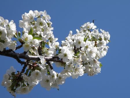 Vibrant white Sour Cherry blossoms in a sun filled orchard. Stock Photo - 4872014