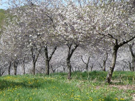 Vibrant white Sour Cherry blossoms in a sun filled orchard. Stock Photo - 4872091