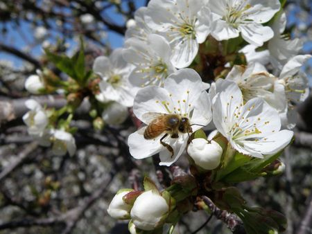 A Honey Bee on a sour cherry blossom. Stock Photo - 4871977