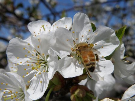 A Honey Bee on a sour cherry blossom. Stock Photo