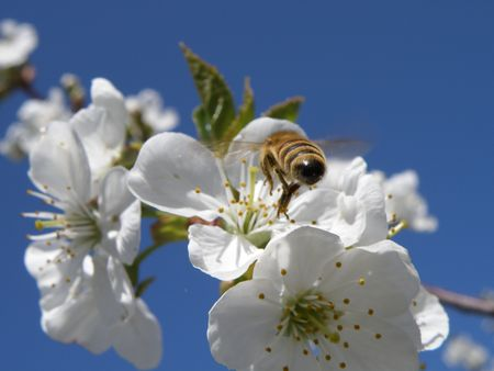 Honey bee preparing to land on a sour cherry blossom. Stock Photo - 4871949