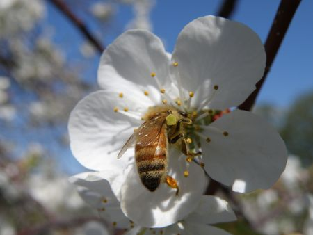sours: A Honey Bee on a sour cherry blossom. Stock Photo