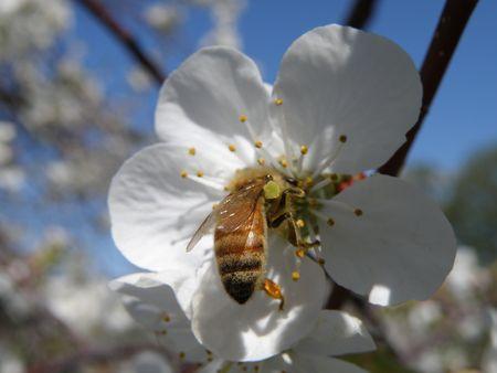 Una abeja en la flor de una guinda. Foto de archivo - 4871948
