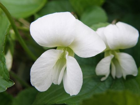 A white flower that has the silhouette shape of a butterfly. Green leaves in the background. Stock Photo - 4886189