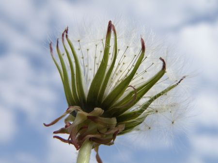 From the bottom looking up at a Dandelion in full seed. Partially clouded background. Close up. Stock Photo - 4886183