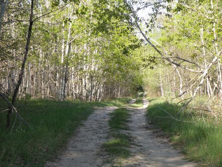 Two track road curves through a forest of Poplar trees. Bright sunny day.