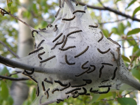 Tent caterpillars busy building their home. Detailed design and craftsmanship. Stock Photo