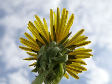 From the bottom looking up at a Dandelion in full bloom. Partially clouded background. Close up.