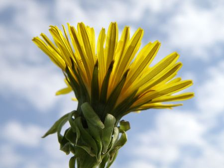 From the bottom looking up at a Dandelion in full bloom. Partially clouded background. Close up. Stock Photo - 4886185