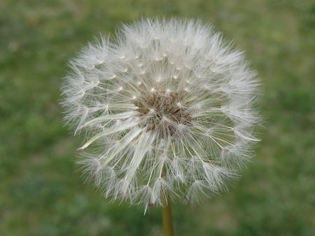 Dandelion in seed form. Bright against a green grassy background. A great deal of detail.