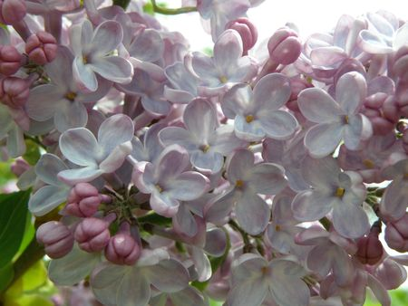 Close image of Lilac flowers in bloom. Bright and beautiful. Stock Photo
