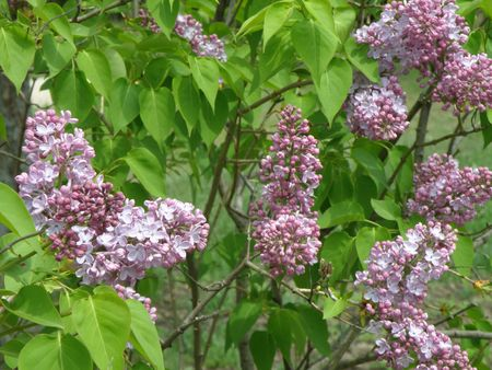 Large cluster of Lilac flowers. Bright purple and burgundy.