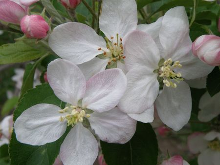 Close image of apple blossoms in full bloom.