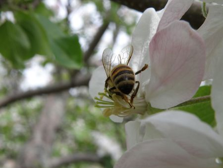 Honey bee on an apple blossom. Detailed and colorful. Close subject. Stock Photo - 4911772