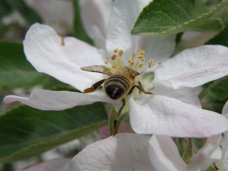Honey bee on an apple blossom. Detailed and colorful. Close subject. Stock Photo - 4911770
