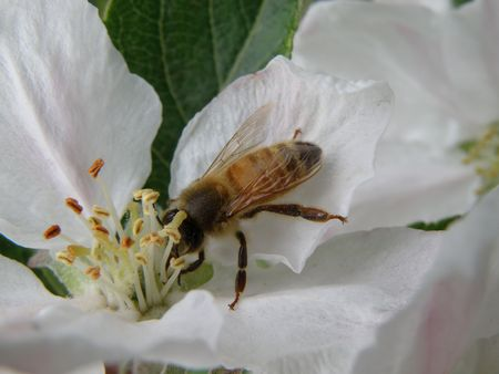 Honey bee on an apple blossom. Detailed and colorful. Close subject. photo