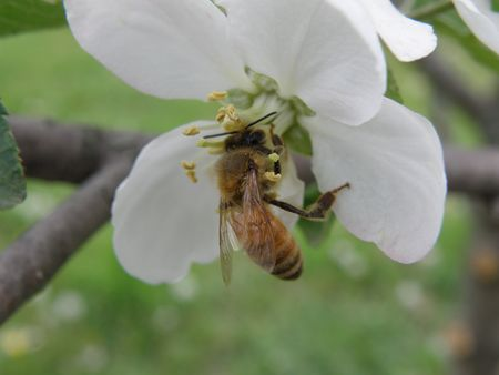 Honey bee on an apple blossom. Detailed and colorful. Close subject. Stock Photo