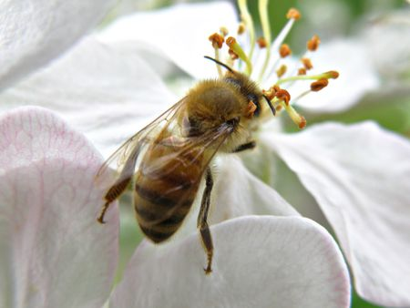 Honey bee on an apple blossom. Detailed and colorful. Close subject. Stock Photo - 4911779