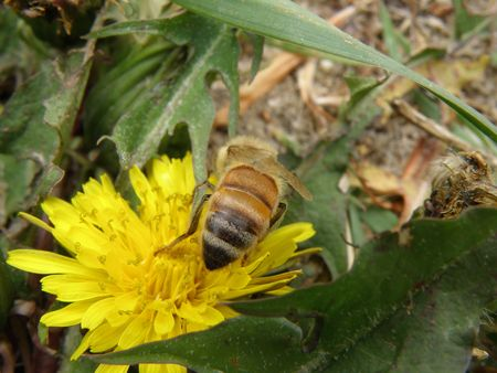 Honey bee on an Dandelion blossom. Detailed and colorful. Close subject. Stock Photo - 4911778