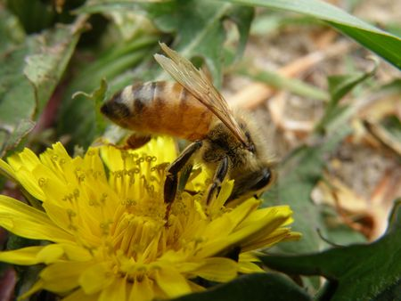 Honey bee on an Dandelion blossom. Detailed and colorful. Close subject. Stock Photo