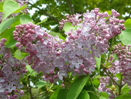 Large cluster of Lilac flowers. Bright purple and burgundy. Stock Photo - 4911790