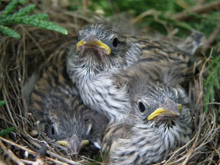 Small baby birds wait for their mother to return with more food.