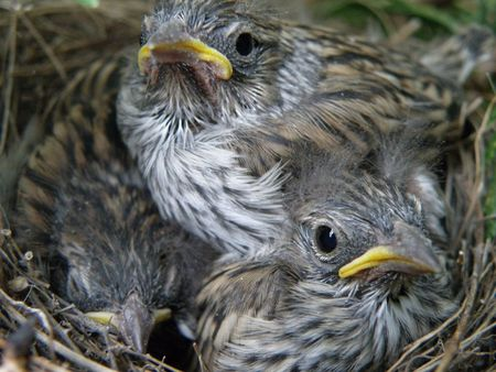 Small baby birds wait for their mother to return with more food.     photo
