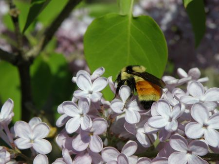 A large colorful Bumble Bee searches the flowers of a Lilac bush.