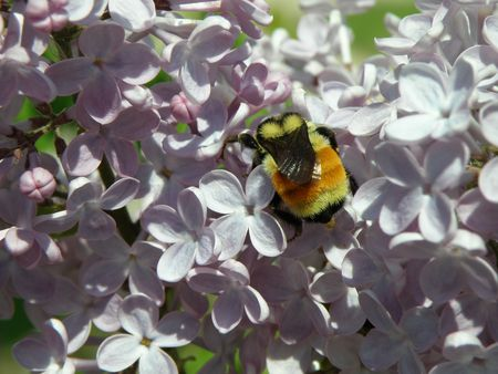 A large colorful Bumble Bee searches the flowers of a Lilac bush. Stock Photo