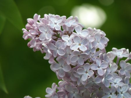 Close image of Lilac flowers in bloom.