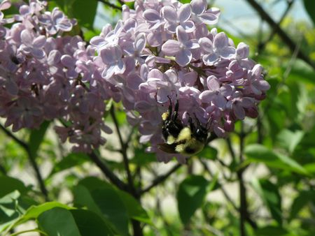 Close image of Lilac flowers in bloom.    photo