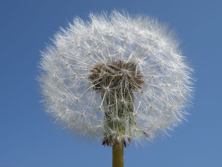 Dandelion in seed form. Bright against a blue sky background. A great deal of detail.