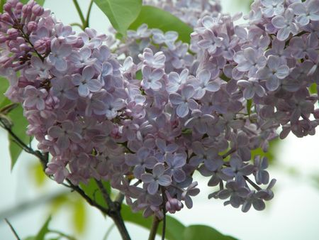 shadowed: Close image of Lilac flowers in bloom.