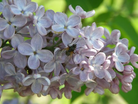 A common house fly lands on purple Lilac flowers.        Stock Photo