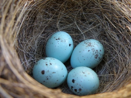 Four small baby blue eggs snuggled into a deep nest. photo