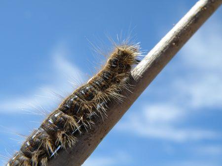 shadowed: Fuzzy caterpillar climbs a stick.