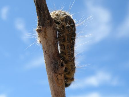 Fuzzy caterpillar climbs a stick.