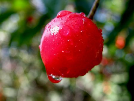 Cherry dripping with water. Refreshing.  Stock Photo - 5215234