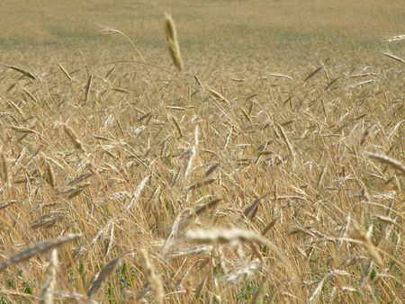 Rye field begins to turn. Stock Photo - 5215253