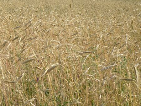 Rye field begins to turn for harvest.