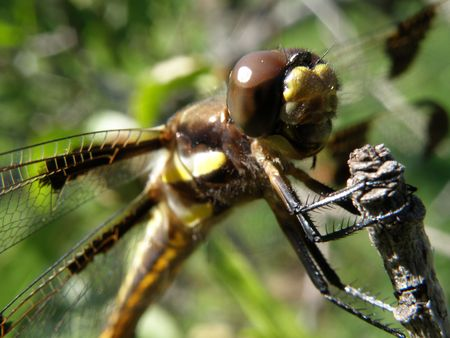 Close up image of a dragonfly grasping the end of a branch. Stock Photo