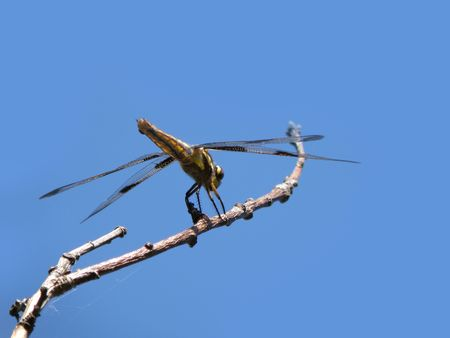Dragonfly rests on a branch. Stock Photo