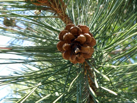 Pine cone surrounded by needles.     Stock Photo