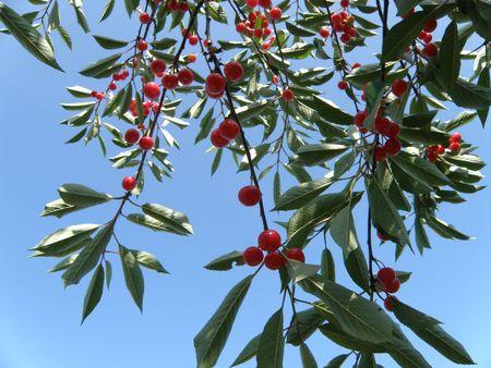Cherry tree bearing ripe fruit. Stock Photo - 5215242
